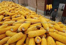 Feed Grade Yellow Corn / Yellow maize / Yellow Corn Grains