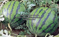 VIETNAM FRESH/FROZEN WATERMELON - BEST PRICE - BEST QUALITY