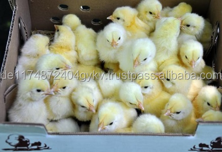 Day old broiler chicks, Ducks and other Chicks for sale