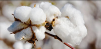 100% RAW COTTON FOR SALE.BEST PRICE