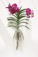 Rare Plants Tropical Natural Plants Vanda Orchid by Joinflower Joinfolia