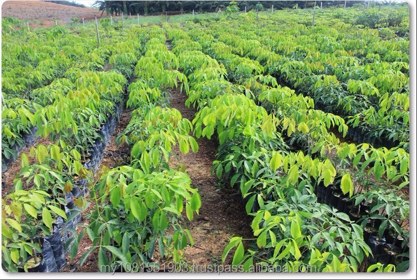 Rubber Tree Plantation for Sale