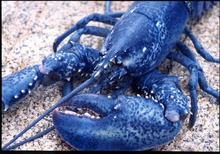 Bright Canadian Blue Lobsters/Live Blue Lobsters Wholesale/Live/Frozen and High Quality Blue Lobsters