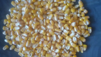 Yellow corn ,maize for animal, poultry, cattle feed From SITCO