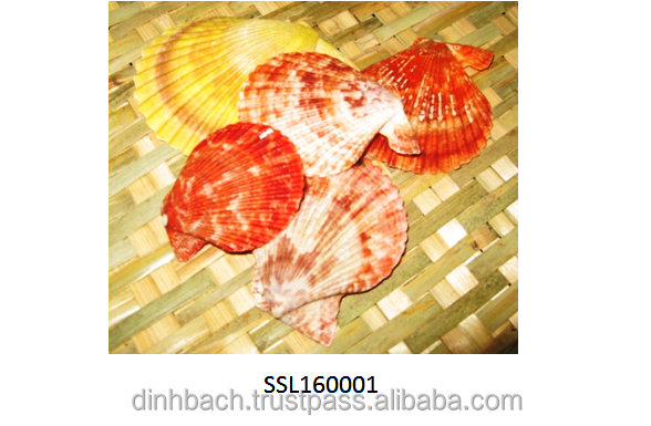 Vietnam natural seashell for gift, home decoration