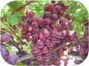 Best quality Fresh Organic Grapes