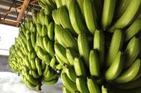 TOP QUALITY FRESH GREEN BANANA for sale