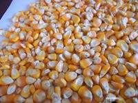 Dry Yellow Corn For Animal Feed