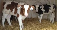 HEALTHY HOLSTEIN HEIFERS FOR SALE