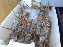 Beautiful Frozen lobster from US, Panulirus argus