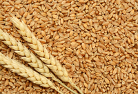 Export Milling Wheat Grain from Ukraine/Turkey