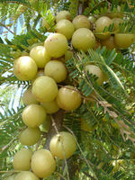 Best quality Emblica officinalis / Amla / Amloki whole & Powder form
