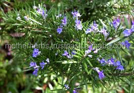 Rosemary Massage Oil