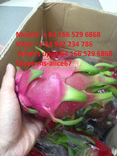 Good price for import/ fresh dragon fruit