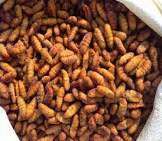 frozen silkworm chrysalis for sale