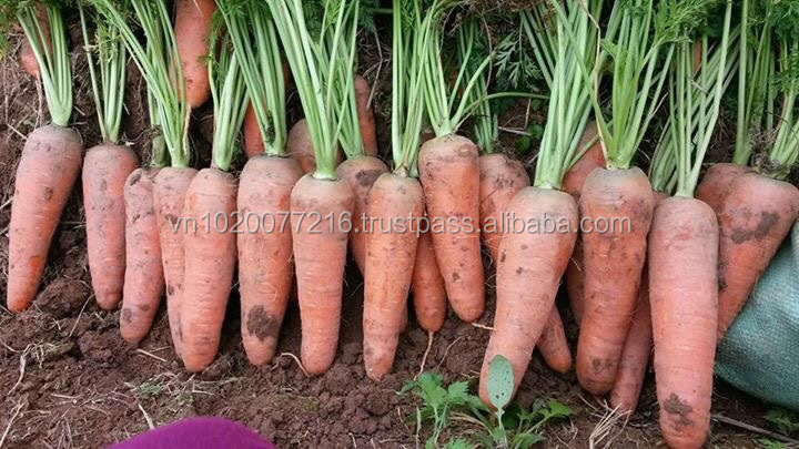 Fresh Vietnam Carrots directly from farm,Fresh Mixed Vegetables from Vietnam