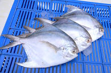 Frozen White Silver Pomfret Fish, Frozen Golden Pompano Fish Pomfret