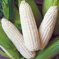 high quality iqf frozen sweet corn
