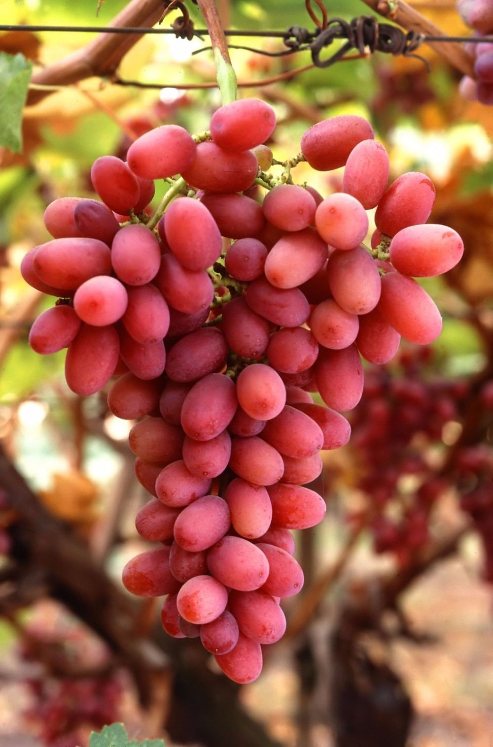 EGYPT FRESH CROPE 2017..red Color and Fresh Style Grapes seedless grapes