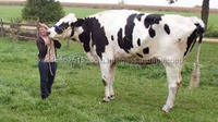 Live Dairy Healthy Friesian Holstein Cow for sale