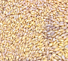 Best Quality Milling Wheat, Feed Wheat, Buck wheat