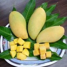 FRESH MANGO VIETNAM HIGH QUALITY - FRESH FRUIT- FRESH GUAVA