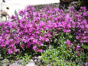 Thyme Red essential Oil Manufacturer
