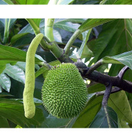 Fresh Jack Fruit of India