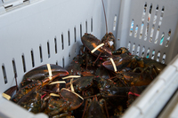 LIVE CRAYFISH - SPINY LOBSTER WHOLE ROUND GOOD QUALITY