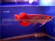 100% High Quality Blue Base Arowana Fish / Red Dragon Arowana Fish / Super Red Arowana Fish