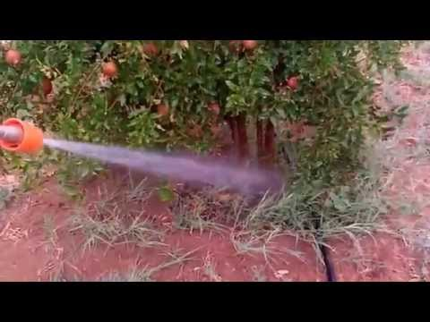 Neem Oil Spray In Pomegranate Farm