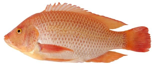 The aquaculture farm is suitable for Oreochromis Niloticus.