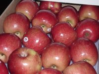 Fresh fuji apple for sale