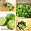 FRESH GREEN LEMON - GOOD QUALITY - VIET NAM