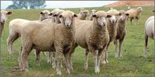 Merino sheep from South Africa