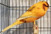 Live Yorkshire Canary - Lancashire Canary Birds and Others Live Birds for sale
