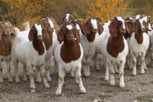 100% Full Blood Boer Goats Live Sheep Cattle Lambs and Cows From Thailand