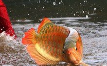 Asain Red Arowana Fish , Red Tail Golden Arowana Fish, Super Red Arowana Fish