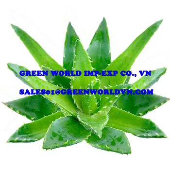 BEST OFFER_ FRESH ALOE VERA_FROM VIETNAM