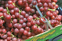 Fresh seedless Red Globe Grapes