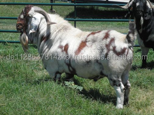 Special Boer Goat and Sheep at Best Price