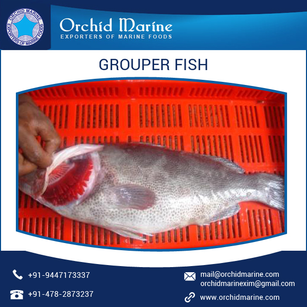 100% Quality Guarnteed Top Grade Grouper Fish Supplier at Cheap Rate