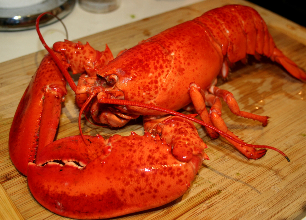 Top quality red Lobsters