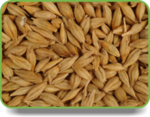 Ukraine barley ,barley seeds have good quality and price