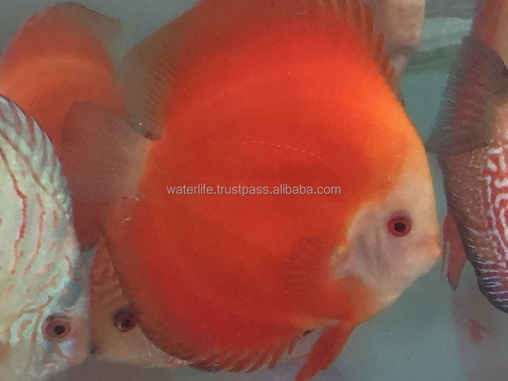 Live Red Melon Discus Fish Wholesaler