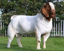 HEALTHY MEAT BOER GOATS FOR SALE