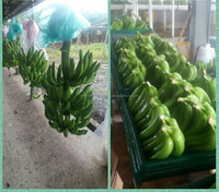Cavendish and Organic Bananas,Pineapples,Plantains,Mangoes,Lemons,Avocados and more tropical fruits.