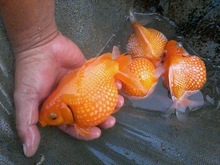 Koi fish, goldfish, oranda, ranchu, cicild, discus, angel fish,..tropical fish for sale