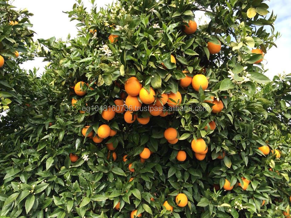 Fresh Valencia Orange, Lemon, Grapefruits and Citrus Fruits New Crop Wholesale Prices