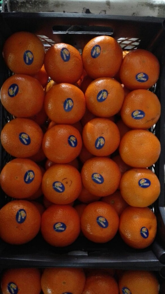egyptian fresh mandarin high quality